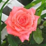 Pink Rose Closeup