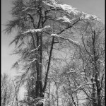 Bright Snowy Trees 2 - Black & White