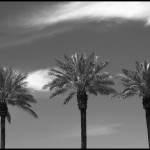 Palm Trio - Black & White
