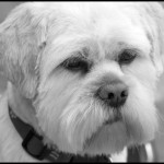 Lhasa-Apso - Black & White